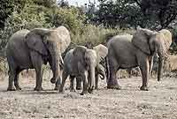 Elephant mothers and youngsters