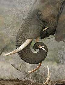 And The Amazing Trunk. Elephant Trunk