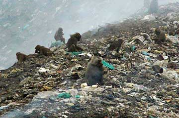 baboons on garbage dump, Eritrea