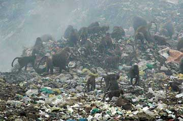 baboon in the rubbish, Eritrea