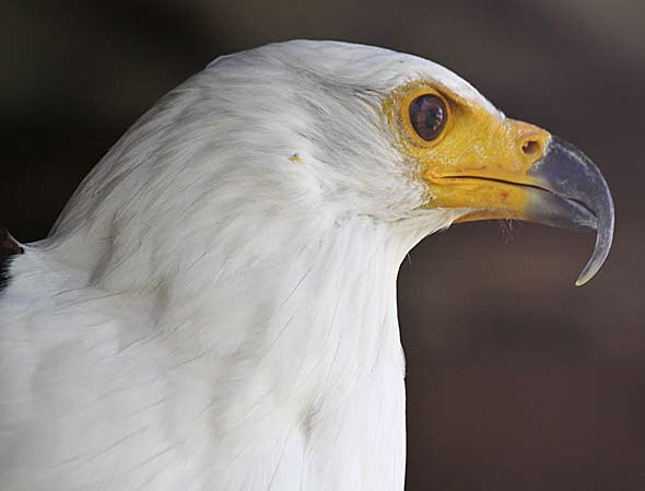 African fish eagle close-up