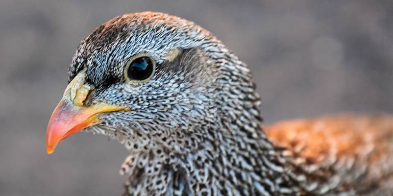 Natal Spurfowl close-up e, Kruger National Park