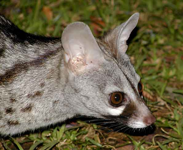Small-spotted genet close-up