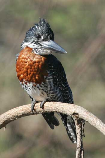 Giant Kingfisher, Ruaha National Park, Tanzania