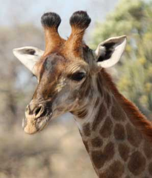 Female giraffe with tufted horn tips