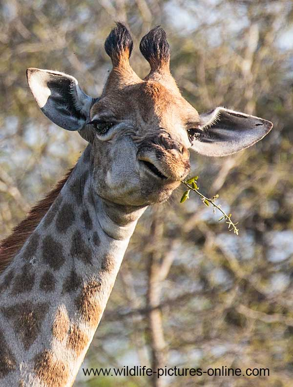 Giraffe swallowing twig