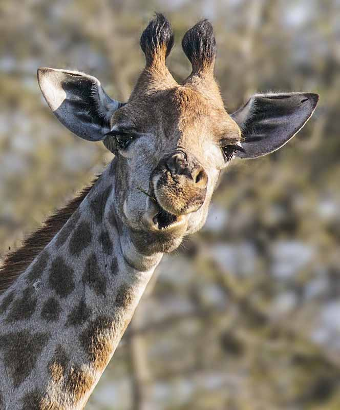Giraffe eating twig