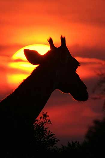 Giraffe against setting sun, Kruger Park, South Africa