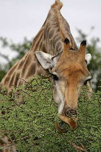 Giraffe feeding from top of tree