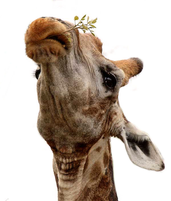 Giraffe using lips to feed on leaves