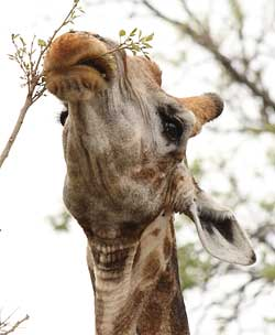 Giraffe using lips to strip leaves
