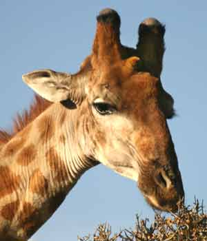 Male giraffe with bald horn tips