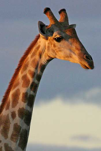 Giraffe against late afernoon sky