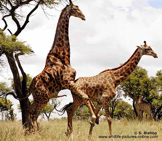 Giraffes mating Photo Details: Giraffe pair (Giraffa camelopardalis) about