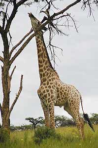 Giraffe at full stretch, reaching for leaves