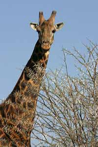 giraffe next to thorn tree