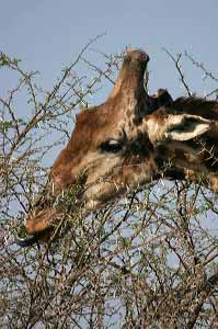 Giraffe feeding on thorn tree's leaves