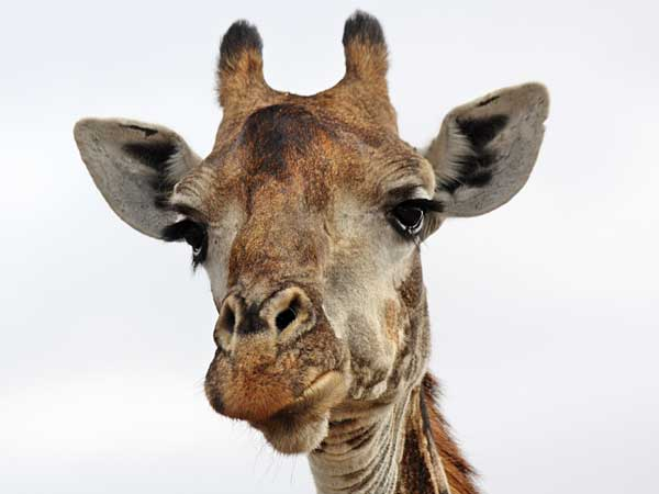Giraffe head close up - photo#4