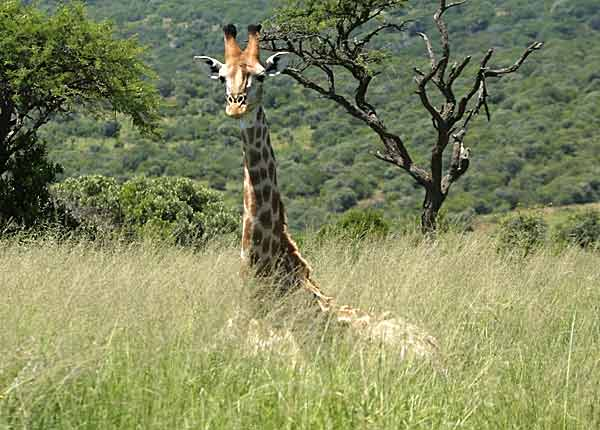 Giraffe lying down in long grass