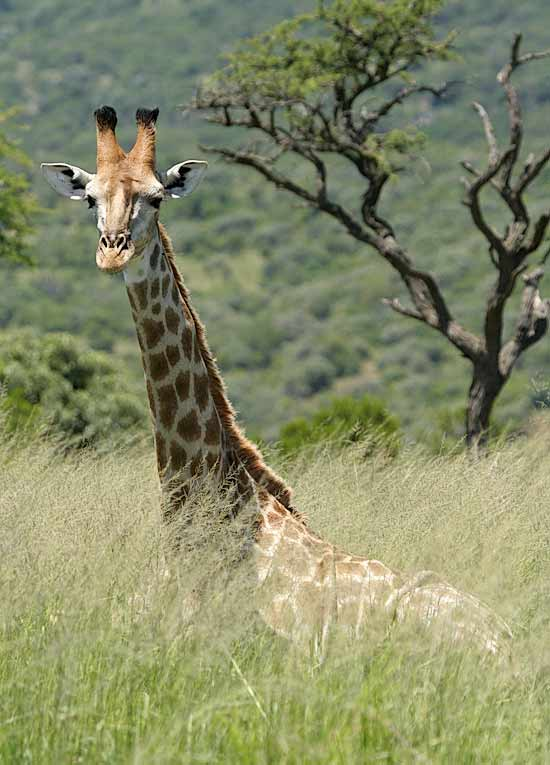 Giraffe lying in long grass