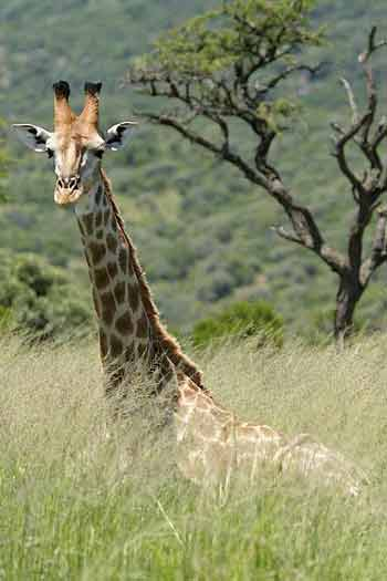 Giraffe lying in long grass, Ithala Game Reserve, South Africa