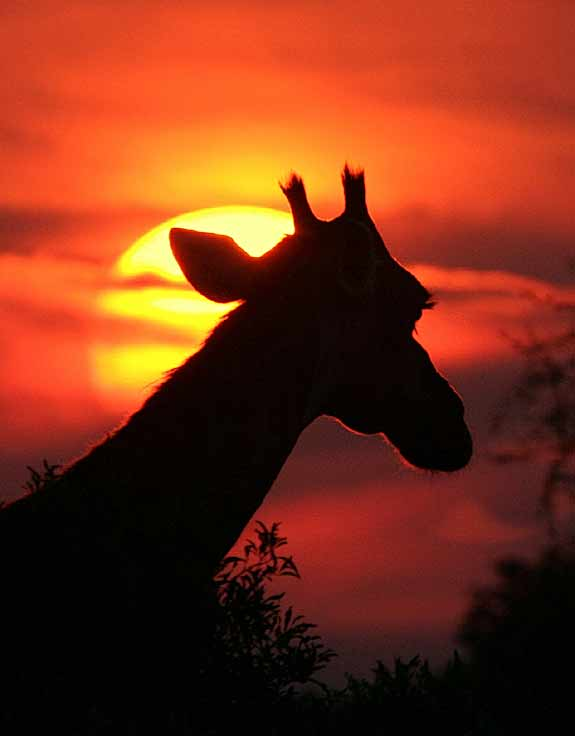 giraffe at sunset
