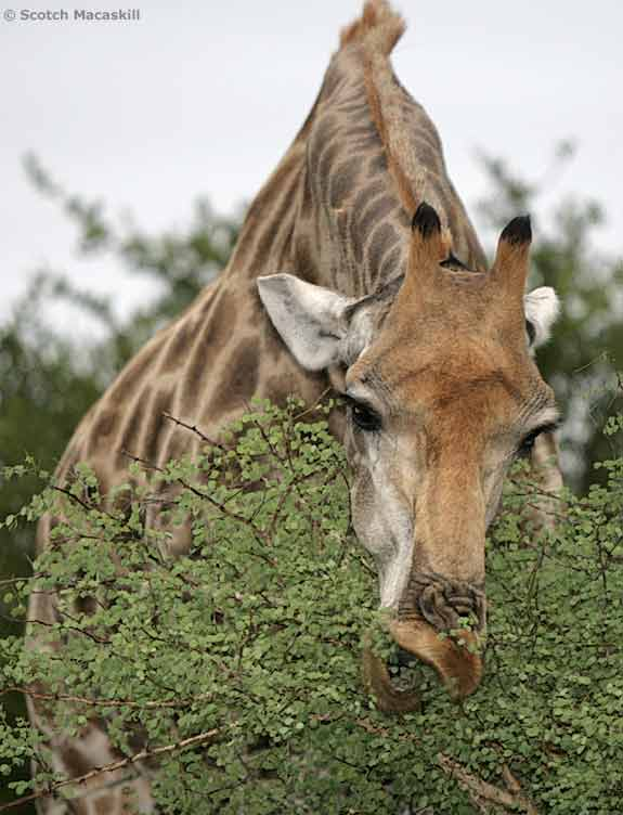 Giraffe browsing green leaves from top of thorn tree
