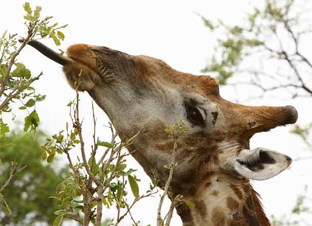 Giraffe plucking leaves with tongue