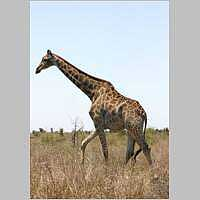Giraffe walking, side view