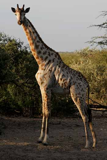 Giraffe at waterhole, Khama Rhino Sanctuary, Botswana