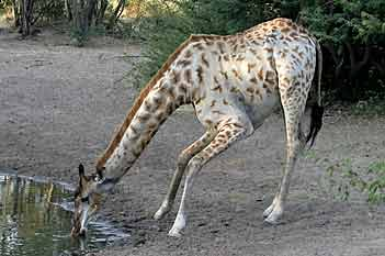 Giraffe bending to drink, Khama Rhino Sanctuary, Botswana