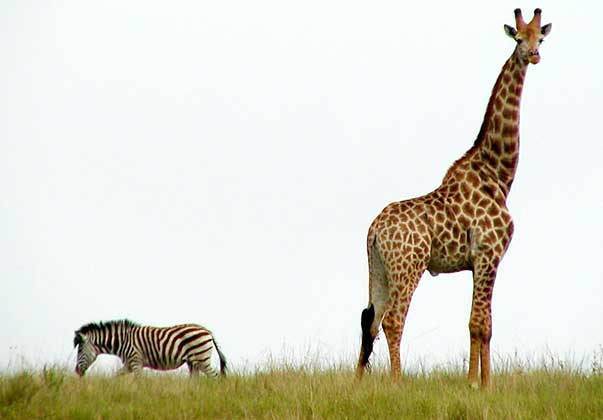 Giraffe and Zebra stai...