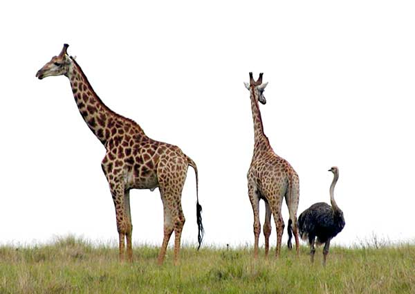 Giraffes and ostrich