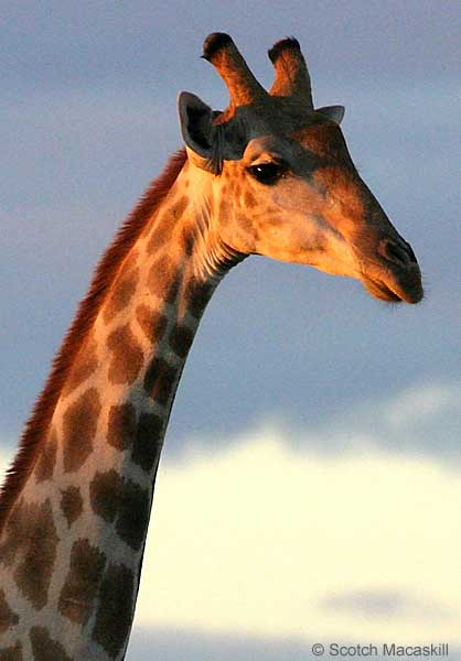 Giraffe close-up, Mashatu Game Reserve