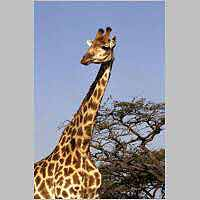 Giraffe with head turned