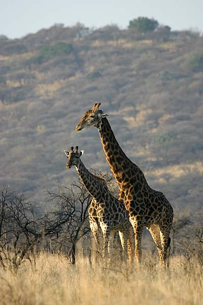 Giraffe male and female pair