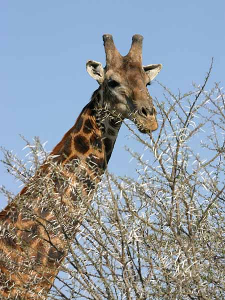 Giraffe about to browse