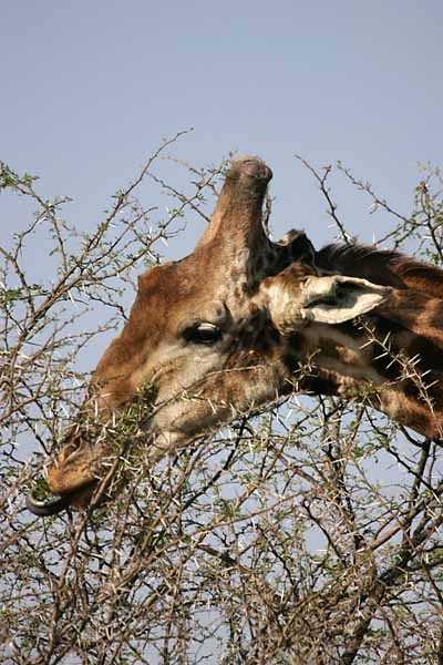 Giraffe plucking leaves