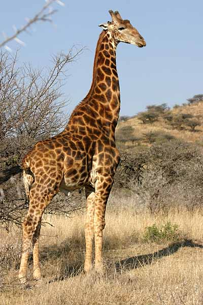 Giraffe standing, side-on
