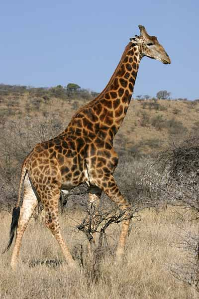 Giraffe walking, side-on