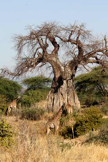 Giraffe under giant baobab tree, Ruaha national park, Tanzania