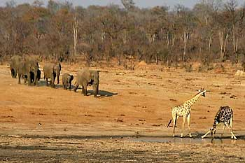 Giraffe and elephants, Hwange National Park, Zimbabwe