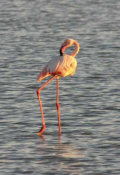 Greater Flamingo in Makgadikgadi Pans