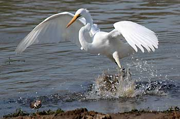 Great white egret making a splash, Ndumo Game Reserve, South Africa