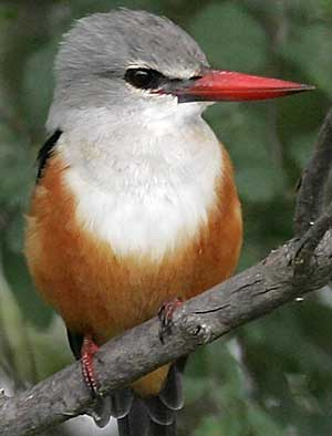 Grey-hooded Kingfisher