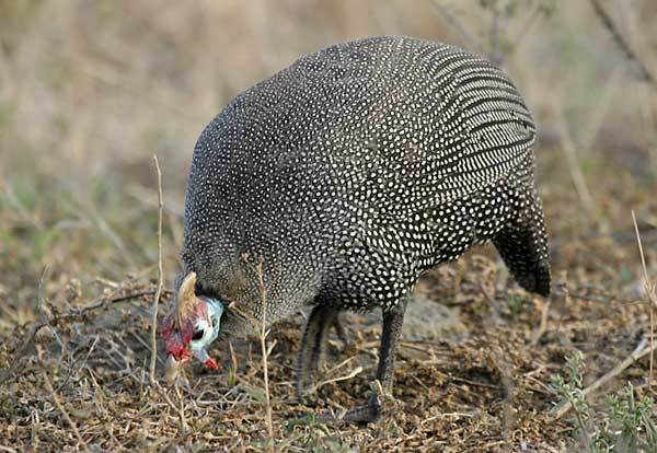 Helmeted Guineafowl foraging