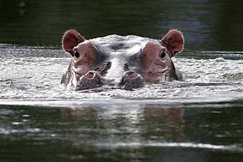 Hippo popping its head above surface of river