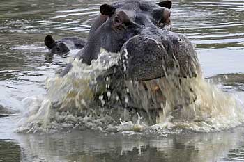 Hippo surfacing, Moremi Game Reserve, Botswana