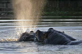 Hippo explosively exhaling water