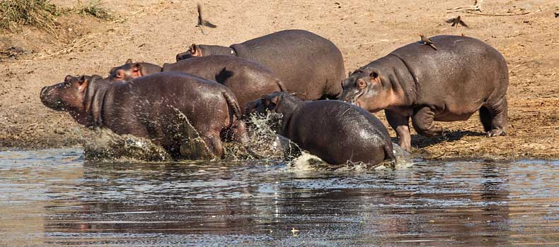 Hippos making a splash on water's edge, Kruger National Park, South Africa